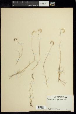 Bouteloua scorpioides image