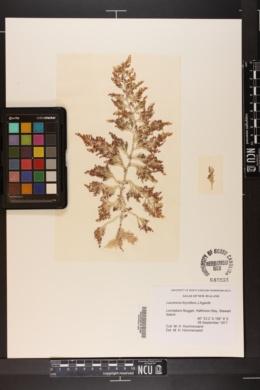 Laurencia thyrsifera image