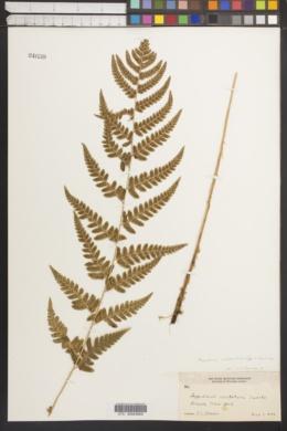 Dryopteris clintoniana var. clintoniana image