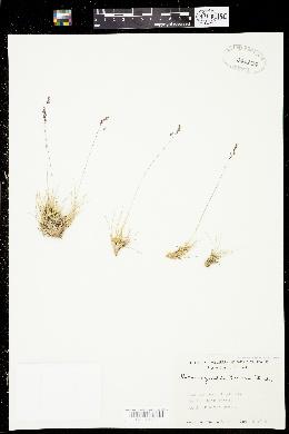 Calamagrostis breweri image