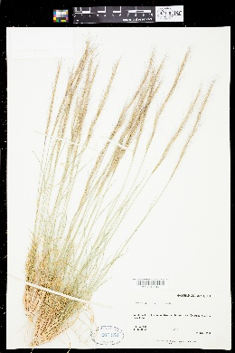 Aristida purpurea var. wrightii image
