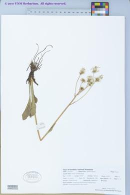 Senecio wootonii image