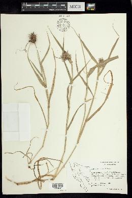Cenchrus palmeri image