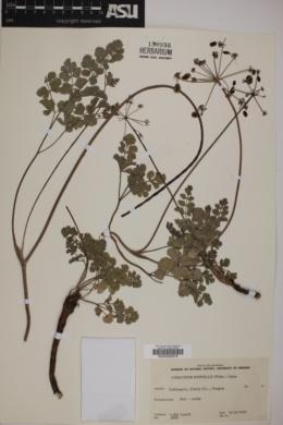 Image of Lomatium howellii