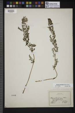 Athyrium americanum image