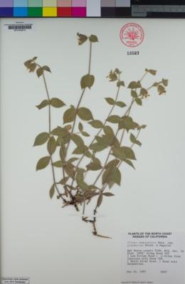 Silene campanulata subsp. glandulosa image