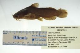 Noturus phaeus image