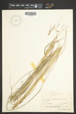 Hyparrhenia hirta image