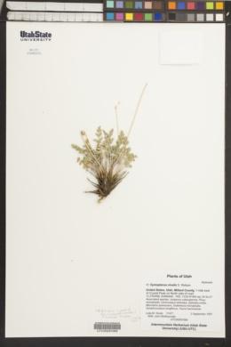 Image of Cymopterus nivalis
