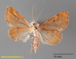 Hemeroplanis punitalis image
