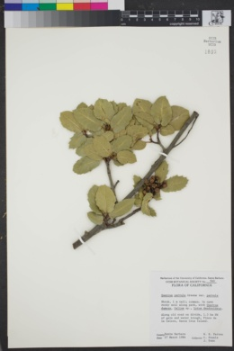 Quercus parvula image