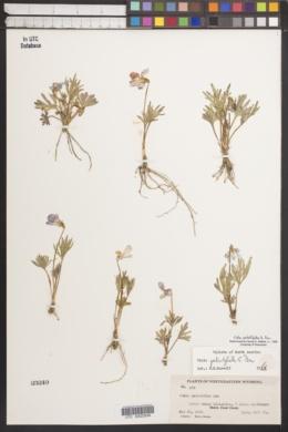 Viola pedatifida image
