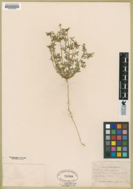 Lotus strigosus image