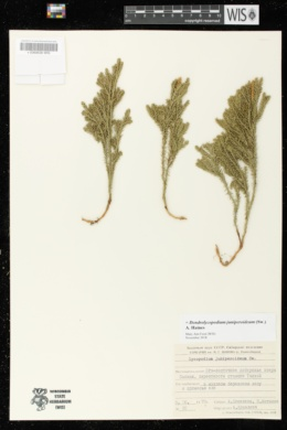 Image of Dendrolycopodium juniperoideum
