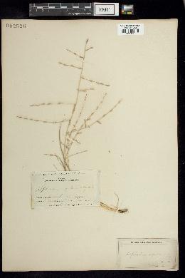 Catapodium rigidum image