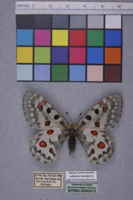 Parnassius smintheus image