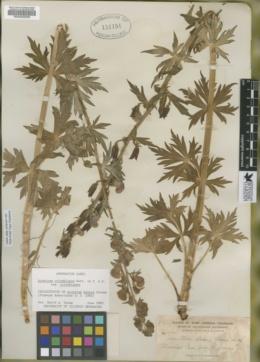 Aconitum bakeri image