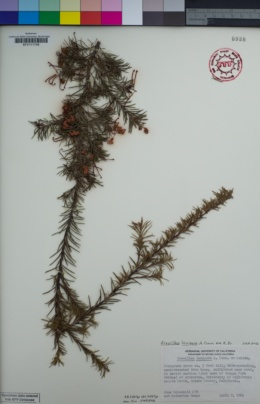Image of Grevillea lanigera
