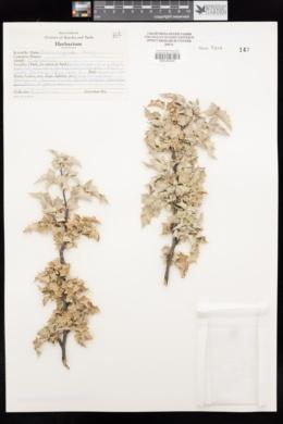 Berberis higginsiae image