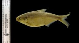 Image of Dorosoma smithi