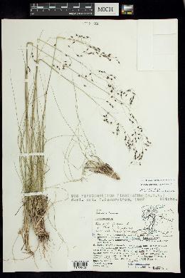Image of Piptochaetium seleri