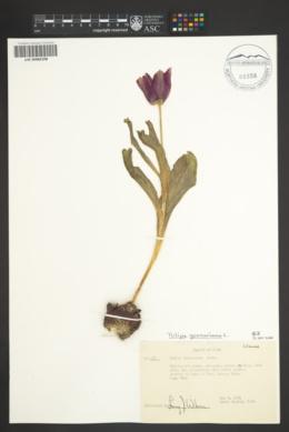 Image of Tulipa suaveolens