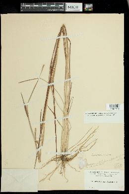 Mnesithea rugosa image