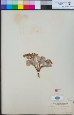 Asclepias nummularia image