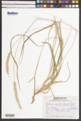 Image of Pennisetum lanatum