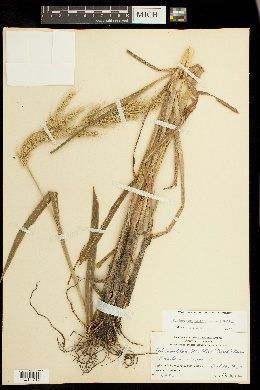 Echinochloa walteri image