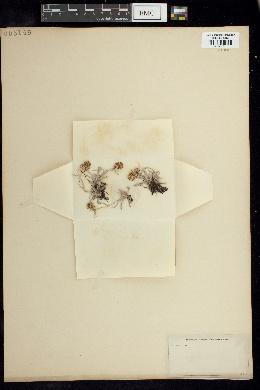 Gnaphalium supinum image