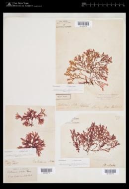 Membranoptera alata image