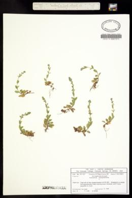 Veronicastrum serpyllifolium image