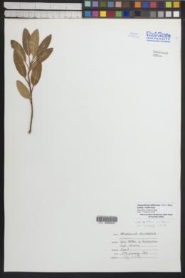 Vauquelinia californica subsp. californica image