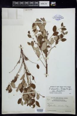 Phyllanthus discolor var. discolor image