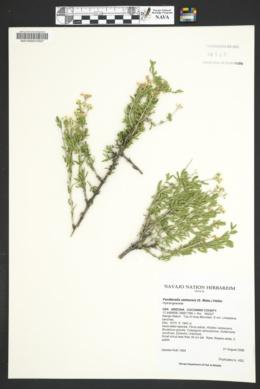 Fendlerella utahensis image
