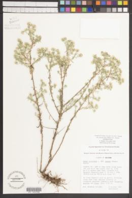 Symphyotrichum ericoides var. pansum image