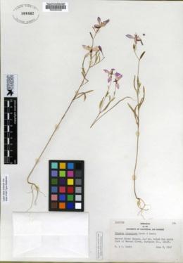 Clarkia lingulata image