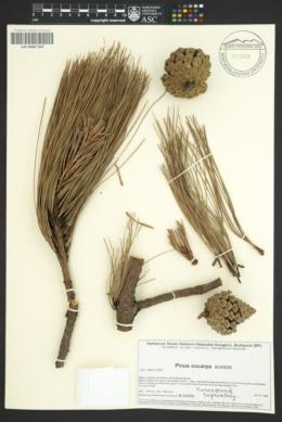 Pinus oocarpa image