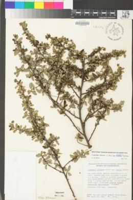Ceanothus foliosus image