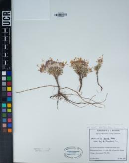 Monardella nana subsp. arida image