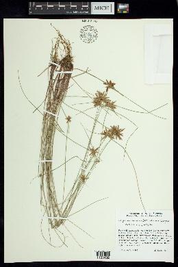 Image of Cyperus aschenbornianus