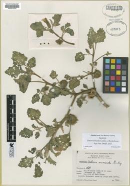 Image of Datura arenicola