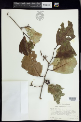 Image of Prunus guatemalensis