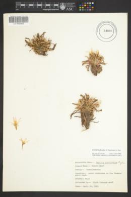 Lewisia brachycalyx image
