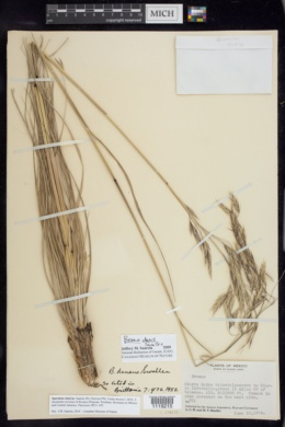 Image of Bromus densus