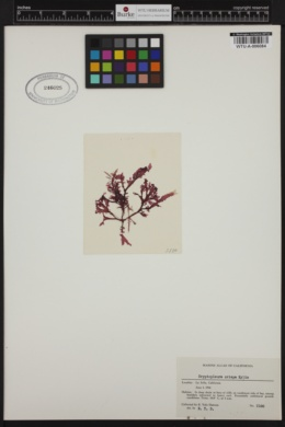 Cryptopleura crispa image