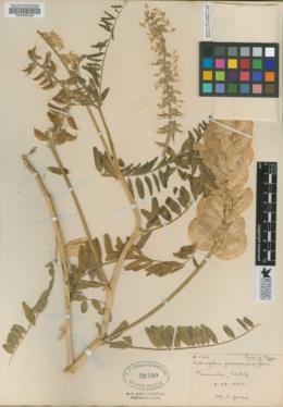 Astragalus pomonensis image