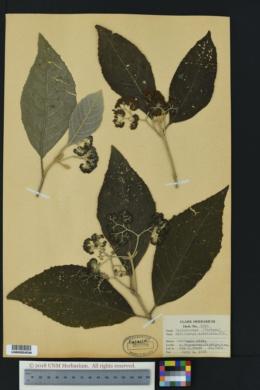 Callicarpa acuminata image