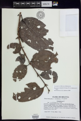 Image of Bronwenia wurdackii